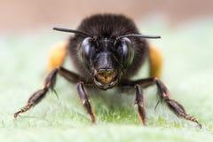 abeja Melenudo-con base de la flor y x28; Plumipes& x29 de Anthophora; cabeza encendido Foto de archivo
