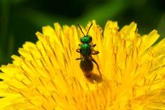 Abeja metálica del sudor del verde Foto de archivo libre de regalías
