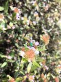 Abeja metálica verde del sudor Fotografía de archivo libre de regalías