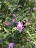 Abeja mi flor Fotografía de archivo libre de regalías