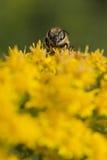 Abeja mientras que chupa el polen Imágenes de archivo libres de regalías