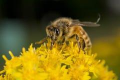 Abeja mientras que chupa el polen Imagenes de archivo