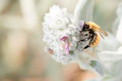 Abeja mientras que chupa el polen de la flor Imagen de archivo libre de regalías