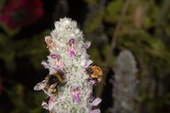 Abeja mientras que chupa el polen de la flor Imágenes de archivo libres de regalías