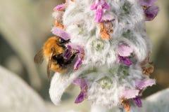 Abeja mientras que chupa el polen de la flor Foto de archivo libre de regalías