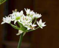 Abeja minúscula en cebollas salvajes de la flor blanca Imagenes de archivo