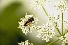 Abeja minúscula en la flor blanca Fotos de archivo libres de regalías