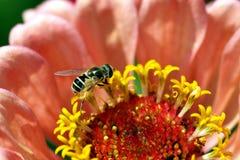 Abeja minúscula en una flor Fotografía de archivo