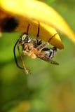 Abeja mojada en el pétalo de la flor Foto de archivo libre de regalías