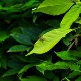 Abeja-mosca Fotos de archivo