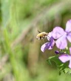 Abeja-mosca, Bombylius, cosechando el néctar de una flor Foto de archivo libre de regalías