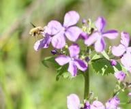 Abeja-mosca, Bombylius, cosechando el néctar de una flor Fotografía de archivo