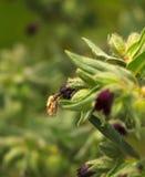 Abeja-mosca de alimentación Fotografía de archivo