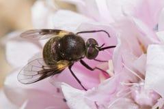Abeja-mosca de Bombylius Fotografía de archivo libre de regalías
