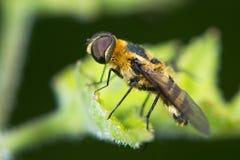 Abeja-mosca del chalet de Downland (cingulata del chalet) en perfil Imágenes de archivo libres de regalías