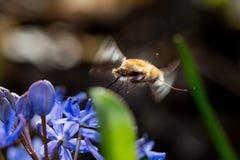 Abeja-mosca grande en el vuelo Imagenes de archivo