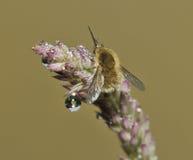 Abeja-mosca occidental Imagen de archivo libre de regalías