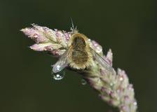 Abeja-mosca occidental Foto de archivo libre de regalías