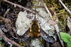 Abeja-mosca punteada (Bombylius se decolora) en descanso, desde arriba Imagenes de archivo