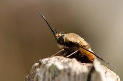 Abeja-mosca punteada (Bombylius se decolora) en descanso, en perfil Fotos de archivo