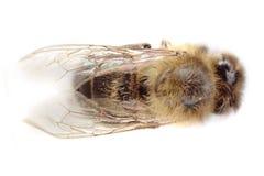 abeja muerta aislada Fotos de archivo