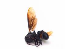 Abeja muerta de la miel aislada en el fondo blanco Imagenes de archivo