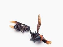 Abeja muerta de la miel aislada en el fondo blanco Imágenes de archivo libres de regalías