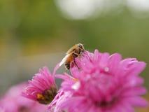 Abeja mullida como mosca en la flor rosada del aster primer Foto de archivo libre de regalías