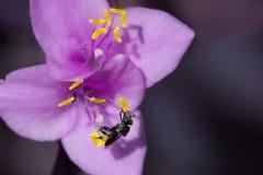 Abeja nativa australiana en la flor púrpura Fotografía de archivo libre de regalías