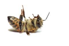 Abeja nativa de la miel Imagen de archivo