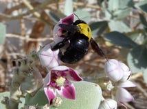 Abeja negra en la flor Fotos de archivo libres de regalías