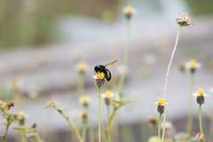 Abeja negra grande en la flor de la hierba Imagenes de archivo