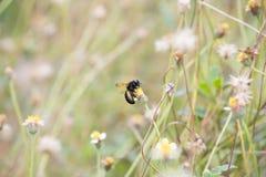 Abeja negra grande en la flor de la hierba Fotografía de archivo libre de regalías
