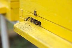 Abeja negra que recoge el néctar y el polen de una flor y de una mudanza Fotos de archivo