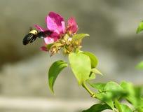 Abeja negra que vuela para florecer para una poca miel Fotos de archivo libres de regalías