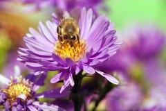 Abeja o abeja en la flor violeta Fotos de archivo libres de regalías