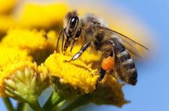 Abeja o abeja en los Apis latinos Mellifera Foto de archivo libre de regalías