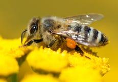 Abeja o abeja en los Apis latinos Mellifera Foto de archivo
