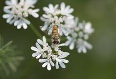 Abeja o abeja de la miel Imagen de archivo