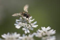 Abeja o abeja de la miel Fotografía de archivo
