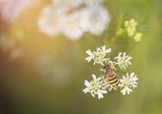 Abeja o abeja de la miel Imágenes de archivo libres de regalías