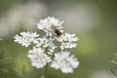 Abeja o abeja de la miel Foto de archivo