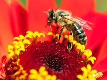 Abeja o abeja en los Apis latinos Mellifera Imágenes de archivo libres de regalías