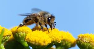 Abeja o abeja en los Apis latinos Mellifera Imagen de archivo libre de regalías