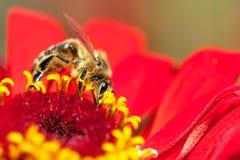Abeja o abeja en los Apis latinos Mellifera Fotografía de archivo
