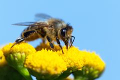Abeja o abeja en los Apis latinos Mellifera Fotografía de archivo libre de regalías