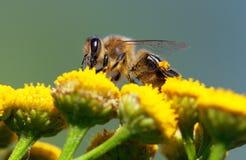 Abeja o abeja en los Apis latinos Mellifera Fotos de archivo
