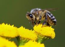 Abeja o abeja en los Apis latinos Mellifera Imagen de archivo