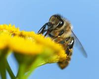 Abeja o abeja en los Apis latinos Mellifera Fotos de archivo libres de regalías