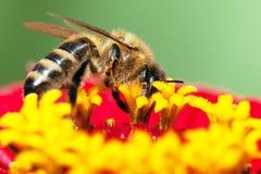 Abeja o abeja en los Apis latinos Mellifera Imagenes de archivo